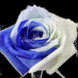 Rose bleue -Sand & Sky-