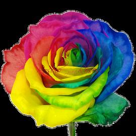 Rose Arc en Ciel