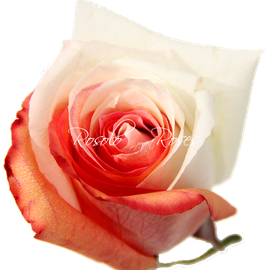 Rose bicolor -Mother's Love-