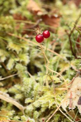 Maianthemum bifolium Früchte