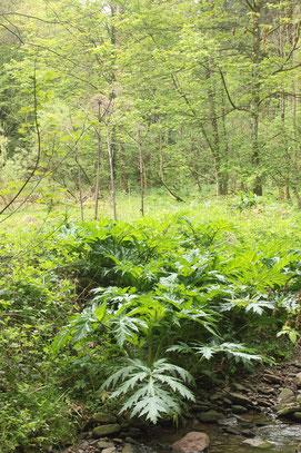 Riesen-Bärenklau am Feldrennacher Bach mit altem Samenstand - leider ist der giftige und invasive Neophyt in Ausbreitung (G. Franke, 11.05.2017)