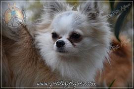 Chihuahua champion Américain