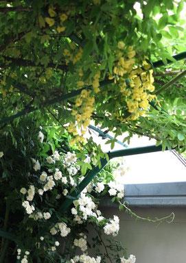 キングサリー(黄色)