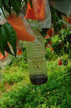 ⇒発酵させて虫のトラップ用にします。木村さん直伝!