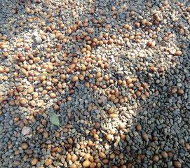 入口近くで足元を見ると、砂利に混じってドングリがいっぱい!