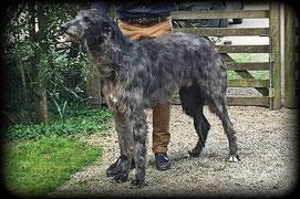 Wir haben gelegentlich bezaubernde Deerhound Welpen mit FCI Papieren! Scottish Deerhound Eifel!