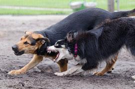 deux chiens un border collie blanc et noir et un berger marron et noir se bagarrent par coach canin 16 educateur canin charente