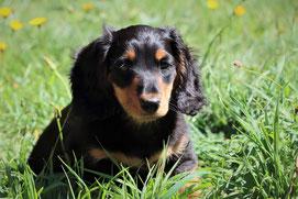 Un chien teckel noir avec le museau et la bouche marron clair assis dans un pré aux herbes fraîches et hautes par coach canin 16 educateur canin à domicile charente