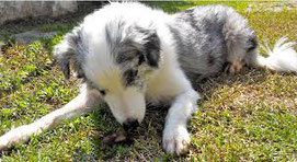 Un jeune chien race berger australien blanc et bleu couché mange ses excréments par coach canin 16 educateur canin charente