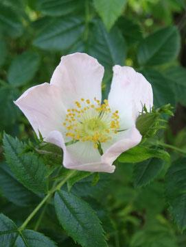 Hundsrose (Rosa canina L.)
