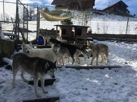 Die sieben Huskypöstler erfreuen sich am wohl letzten Schnee in dieser Saison.