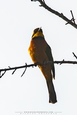 Merops oreobates, cinnamon-chested bee-eater, guepier montagnard, abejaruco montano, birds of kenya, birds of africa, Nicolas Urlacher, wildlife of kenya
