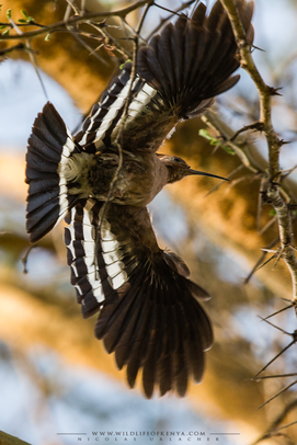 eurasian hoopoe, huppe fasciée, abubilla, birds of kenya, wildlife of kenya