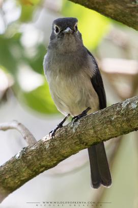 white-eyed slaty flycatcher, gobemouche de fischer, papamoscas de fischer, Nicolas Urlacher, wildlife of Kenya, bird of kenya, bird of africa, ornithology