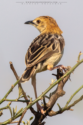 Cisticola robustus, stout cisticola, buitron robusto, cisticole robuste, birds of kenya, birds of adrica, Nicolas Urlacher, wildlife of kenya