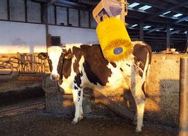 Kuh an der Kuhbürste