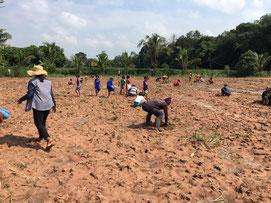学校の敷地内にあったキャッサバ畑の一部を植林地に