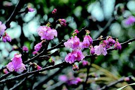 新春に花を咲かせた桜=8日午後、バンナ公園渡り鳥観察所入り口