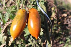 Tomate Schwarze eiszapfen