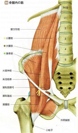 骨盤内の筋
