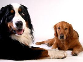 Richtlinien für die tiergestützte Intervention müssen auch bei diesem Berner Sennenhund und Labrador gewährleistet sein!