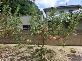 実が赤く色づいたりんごの木。 これが夢だったんです(^^)