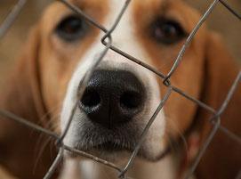 Un chien beagle marron clair et blanc derrière un grillage par coach canin 16 éducateur canin en charente