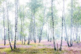 """""""Heideblüte im Birkenwald"""" - Highlight in der Kategorie """"Magnificent Wilderness"""""""