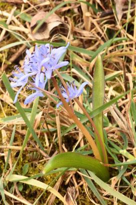Zweiblättriger Blaustern - Scilla bifolia (G. Franke, 28.02.16 bei Neuburgweier)