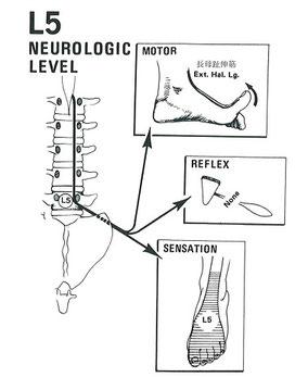 腰椎神経の働き