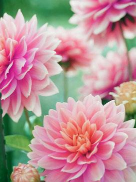 Pinke Blumen schön