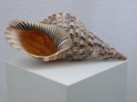 Tritonshorn (charonia tritonis) Größe: 40cm