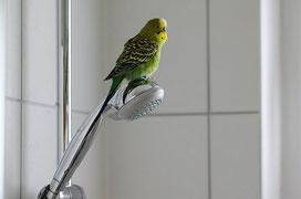 Wellensittich auf - nicht unter! - der Dusche