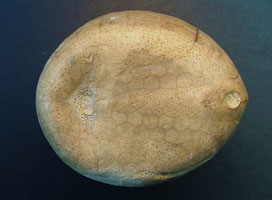 Seeigel Echinocorys vulgaris (Unterseite)