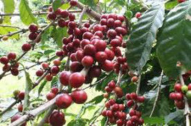 真っ赤なコーヒーの木の実