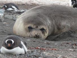 See-Elefant und Pinguine - auf dem Bauch liegen ist die Wucht!