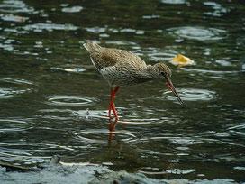 ・2013年7月5日 葛西臨海公園  ・アカアシシギは、ツルシギと似るが、ツルシギは、上嘴基部が黒く、アカアシシギは、上下共に嘴基部に赤味を帯びている。