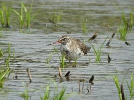 ・2010年4月29日 稲敷市  ・群れから離れて、1羽単独でいた。小さく見えたのでクサシギかと思ったが、嘴が長く、下嘴基部が赤いのでツルシギ。