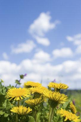 青空に向かって咲く♪タンポポだよ。