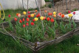 Les tulipes en fleurs
