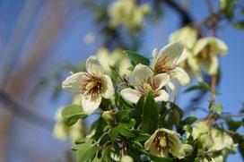 Javoy Plantes - Clématite Christmas Surprise