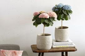 ©Magical Colours Your Home, nouvelle variété d'hortensia sur tige