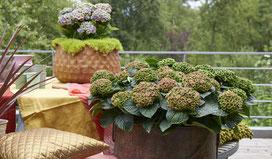 ©hortensia Magical Four Seasons, coloris automnal