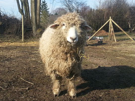 Devon Longwool
