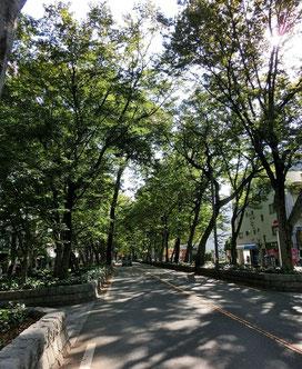 ●美術館通りと国分寺街道の交差点を南、府中駅のほうに向かうとケヤキ並木になります