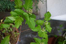 Acer ginnala (カラコギカエデ)