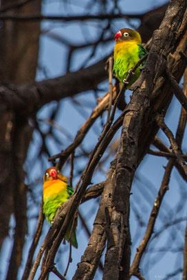 lovebird, inséparable masqué, inseparable cabecinegro, lake naivasha, birds of africa, birds of kenya, birds of lake naivasha, wildlife of kenya, nicolas urlacher