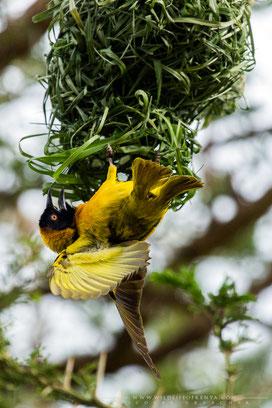 black-headed weaver, tisserin à tête noire, tejedor cabecinegro, birds of Kenya, birds of africa, ornithology, Nicolas Urlacher, wildlife of Kenya