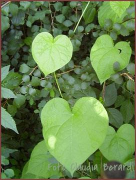 Blätter in Herzform aus dem Garten von AMARELLA Räucherwerk