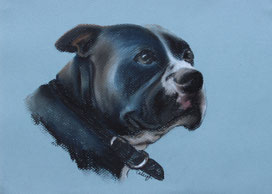 dog drawing of a pit bull in chalk pastel